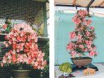 HB-101で皐月の花が例年以上に咲き、とても驚きました。