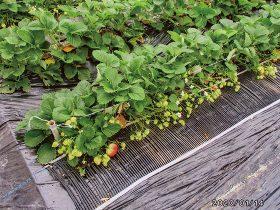HB-101でイチゴの生育がものすごいです。