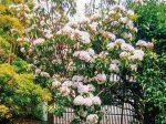 枯れかかっていた木がHB-101で 生まれ変わったように美しい花を見せてくれました。