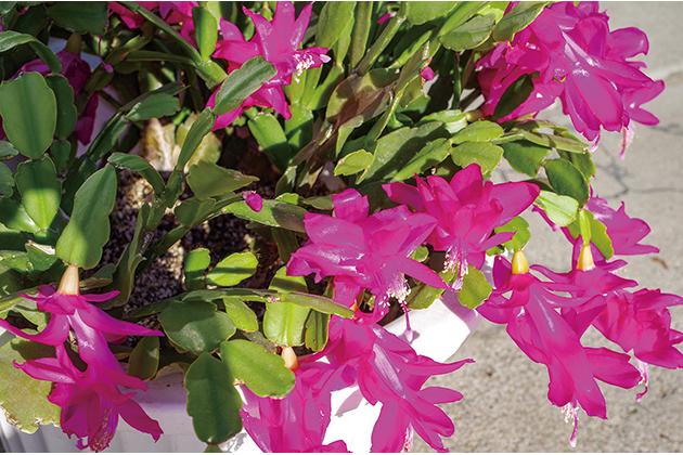 HB-101のおかげでシャコバサボテンが毎年きれいな花を咲かせてくれています。