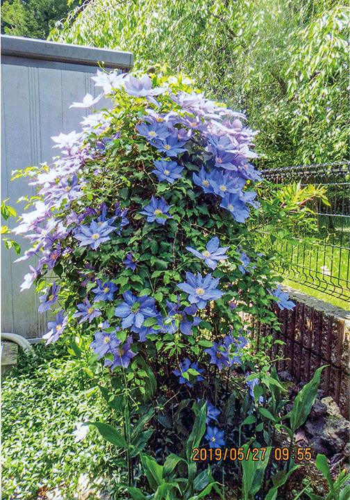 HB-101でクレマチスが美しく咲いています。