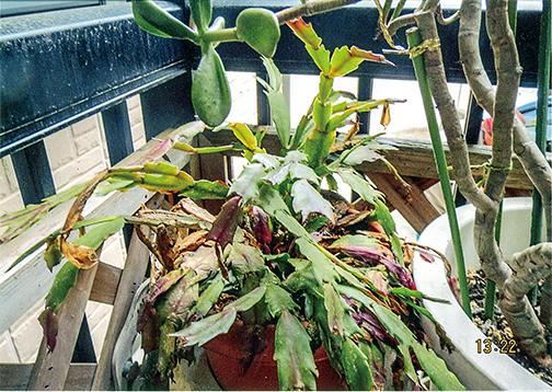 霜に当たってぐったりしていたシャコバサボテンが、HB-101をたっぷりあげたら、魔法をかけたように元気になり、新芽が出ています。