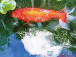 水替えの時にHB-101を数滴入れているので、金魚はとても美しく、小さかった金魚の体長が17㎝になっています。