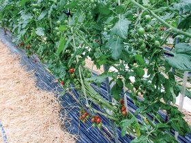 HB-101で葉に厚みがあり、病気にかかりにくいミニトマトが生産出来ます。