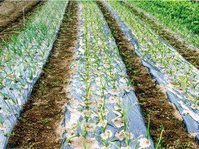 畜産の傍ら、野菜の栽培担当は幸季君です。HB-101でニンニクや玉ネギの生育がすばらしいです。