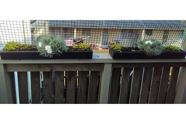 左側がHB-101使用で花は6個、右側はHB-101未使用で花は2個です。