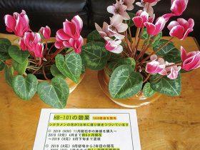 HB-101でミニシクラメンが約2ヶ年咲き続けています。