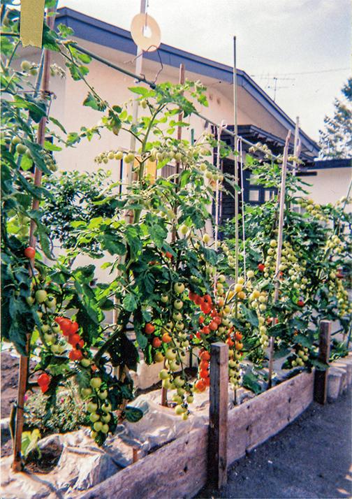 ミニトマトがHB-101で甘く、大きく生き生きしています。