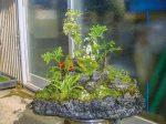 HB-101の千倍液に浸漬して、「アスナロ」と「斑入りギボウシ」を奇植岩形鉢(手作り鉢)45㎝に植えて、よく育っています。