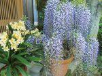 藤の花と君子蘭の花がHB-101のおかげで咲き誇っています。