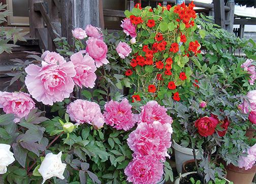牡丹とナスターチウムがHB-101のおかげで花つきが良く、よく育ち、病気がありません。