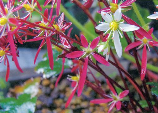 大文字草がHB-101で輝くような花を咲かせています。