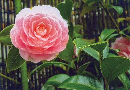 HB-101のおかげで、椿の乙女の花が 美しい花色で、艶のある花になりました。