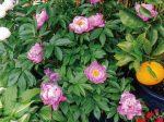枯れてしまっていた多くの植物がHB-101を娘が毎日、散布し続けたら、ぐんぐん蘇りました。芍薬がとてもきれいに咲いています。