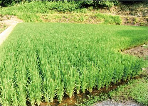 水稲が見事に生育して います。