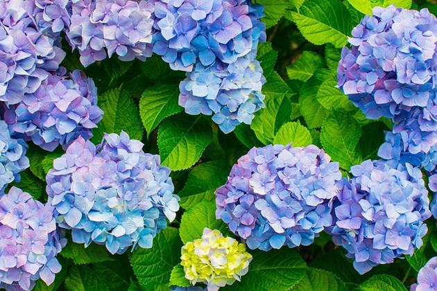 今年の我が家の庭には アブラムシはじめ様々な虫に 木々や花々が食い荒らされていました。 そんな時にHB101を知り、早速土壌改良したところ元気を取り戻しすくすく育ち始めました。 毎年色が悪く花が小さかった紫陽花も今年は今までに見た事のない綺麗な色と花の大きさになりました。 これからもHB101にお世話になろうと思います。