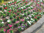 HB-101で花壇の花達がきれいに元氣に咲き続きます。