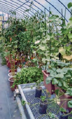 水分管理の為に、トマトを鉢で栽培しています。