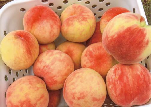 HB―101で甘くておいしい桃が沢山とれました。