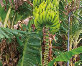 HB―101で高品質の島バナナが出来ます。