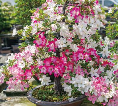HB-101のお陰で、毎年見事にサツキの花が咲きます。