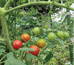 HB―101でおいしい野菜がたくさん収穫出来ました。