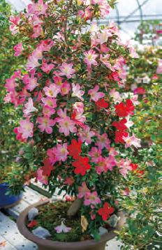 HB-101を使うと、サツキの芽吹きが良く、木がとても元気になります。