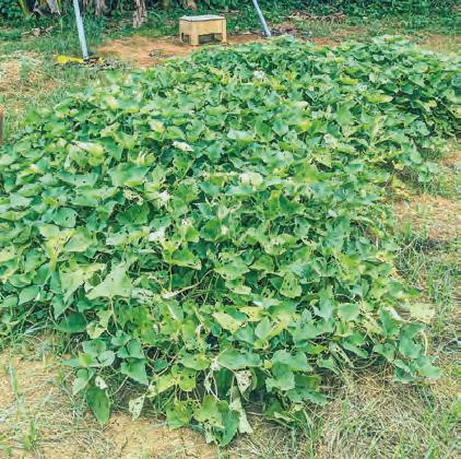 HB―101でサツマイモを栽培しています。