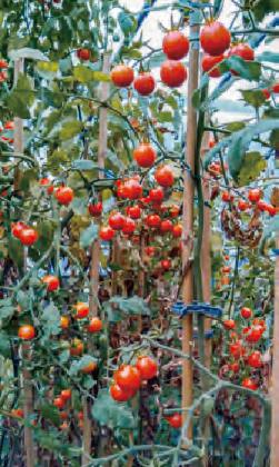 HB―101のおかげでトマトがたくさん実り、おいしいと評判です。