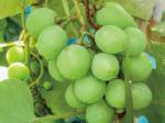 HB―101でブドウのツブが大きく、色艶が良く、香りが良いです。