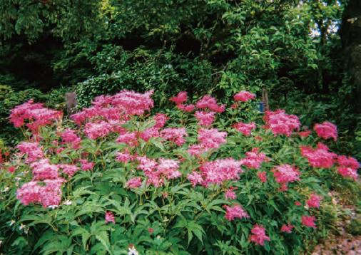 HB―101でキョウガノコが美しく咲いています。