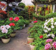 HB-101と顆粒HB-101で、植木鉢がかくれる程、花が一杯に見事に咲いています。