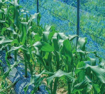 HB-101で作物が超元気になり、高品質になります。