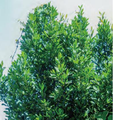 HB―101のおかげでローリエ(月桂樹)が左右に枝を広げ、高い木に生長しました。
