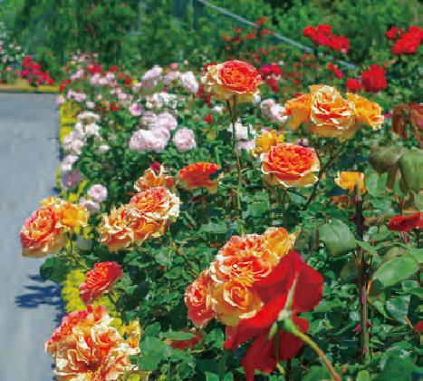 HB―101の手助けのおかげで平成28年に全国花のまちづくりコンクール個人部門で大賞をいただきました。