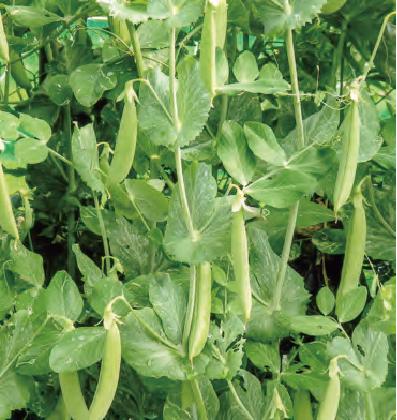 HB―101のおかげで沢山の空豆が出来ています。HB―101で育てた空豆からとってもおいしい餡(あん)が出来ます。