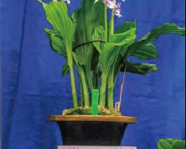 HB-101で丈夫で美しいエビネランを栽培し、全国の愛好家に喜ばれています。