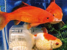HB-101で金魚は大きくなり、色が良く、とても元気です。
