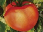 トマトがHB―101でよく育っています。