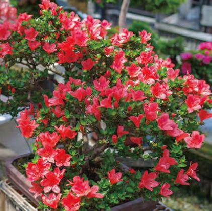 HB―101でサツキの花の勢いが良いです。