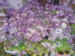 HB―101のおかげで庭のさくら草は春真っ盛りです。