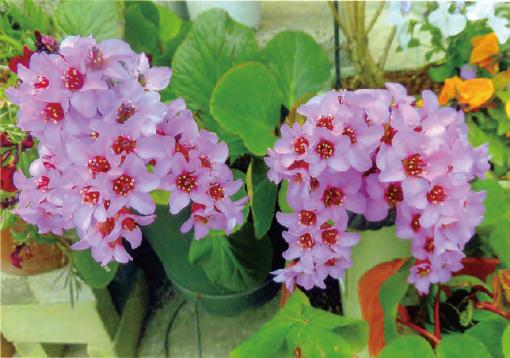 HB―101でヒマラヤユキノシタが見事に咲きました。