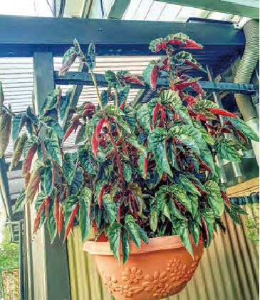枯れてひん死状態だった植物がHB―101と顆粒HB―101のおかげで、よみがえってきました。