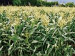 HB-101のおかげで実の成る作物が立派になります。