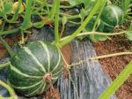 甘くて、おいしい作物がHB-101と顆粒HB-101で生産出来ます。