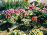 HB-101で菊が美しくきれいに育ちます。