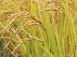 HB-101を使用して栽培したお米や野菜は、安全でおいしいです。