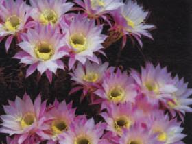 HB-101と顆粒HB-101でサボテンの花が見事に咲きました。