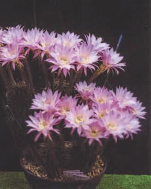 サボテンの花と鉢全体の写真です。