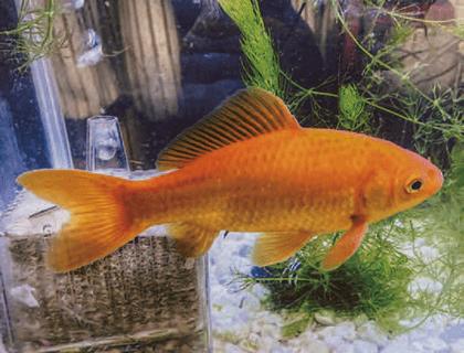 HB-101で金魚の体長が15㎝にもなりました。